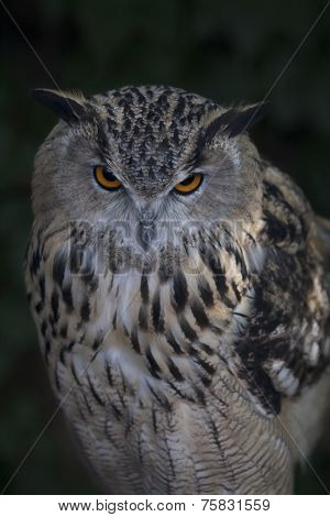 A screech owl on dark background. Stare of a long-eared owl very skilled raptor.