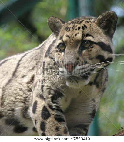 A clouded leopard looking for his dinner poster