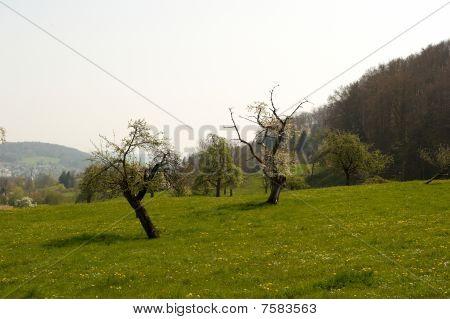 Idyllic Meadow With Trees