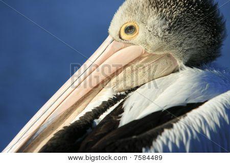Australian Pelican close-up.