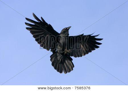 Black crow in flight.