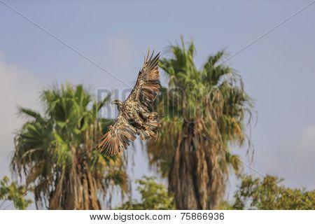 Yellow-billed Kite (milvus Aegyptius) In Flight