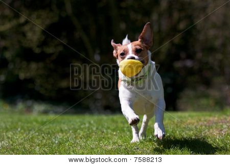 Jack Russell Terrier Running With Ball
