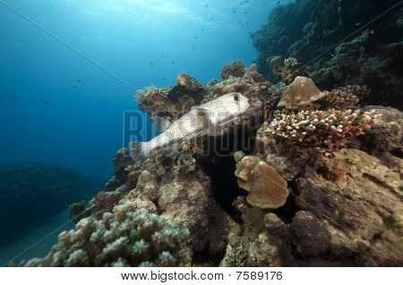 Porcupinefish And Ocean