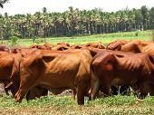 A view of brown cows (cattle) grazing in the fields of the Indian tropics. poster