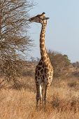 Giraffe Browsing at Kruger National Park South Africa poster