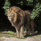 Side full-length portrait of a young Asian lion. The head with splendid mane of the King of beasts. Wild beauty of the biggest cat. poster