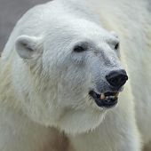 The head of a polar bear female. Side face portrait of a beautiful beast with open chaps. The most dangerous animal of the Arctic region. Wild beauty of severe raptor. poster