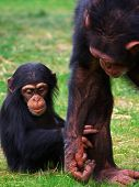 Cute scene of a baby chimp hold on to her mothers leg poster
