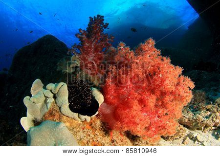 Cowrie Shell and coral reef in ocean