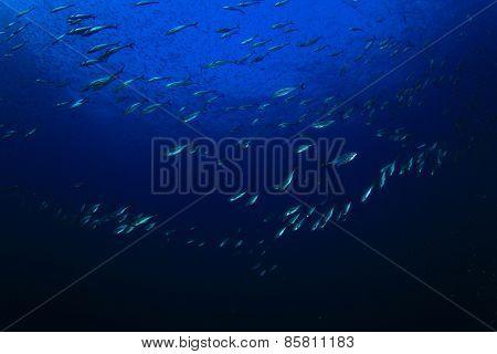 Bonito Tuna fish