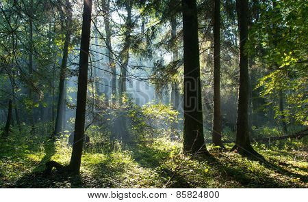 Sunbeam entering rich deciduous stand of Bialowieza Forest misty morning with old alder trees in foreground Poland Europe poster