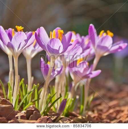 Sunbathing Crocusses