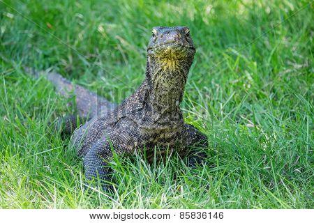 Komodo Dragon In The Grass
