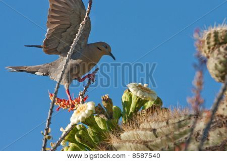 Dove landing on cactus.