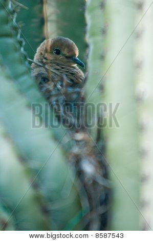 Bird nesting in cactus