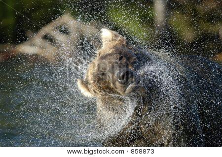 Brown bear shaking water off