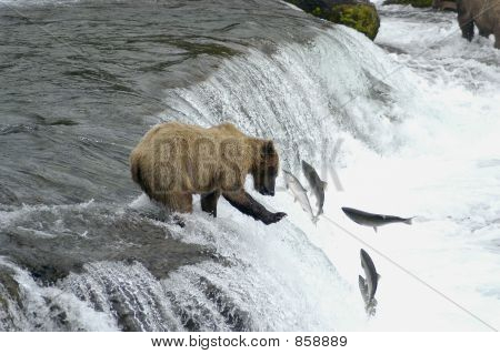 Brown bear trying to catch salmon05