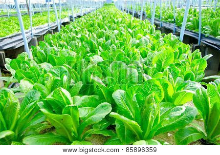 Cos Lettuce, Romaine Lettuce