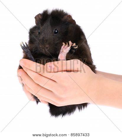Guinea Pig in Hands