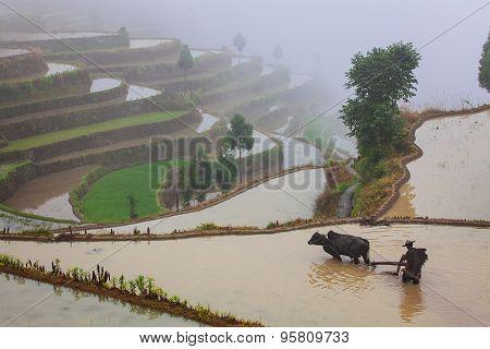 Asian farmer working on terraced rice field