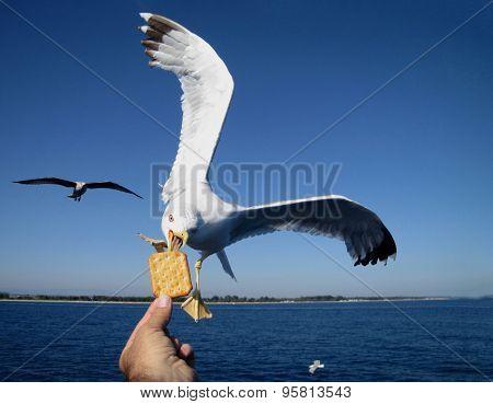 Saegull Feeding