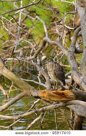 Immature Yellow-crowned Night Heron