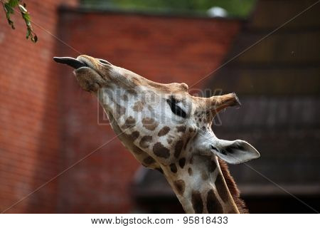 Rothschild's giraffe (Giraffa camelopardalis rothschildi). Wildlife animal.