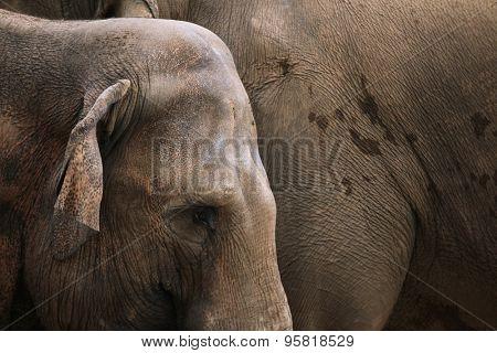 Indian elephants (Elephas maximus indicus). Wildlife animal.