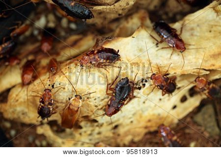 Turkestan cockroach (Blatta lateralis), also known as the rusty red cockroach. Wild life animal.