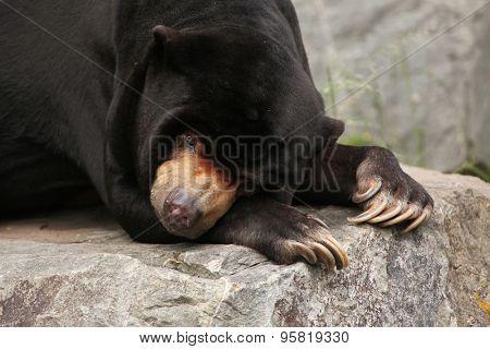Malayan sun bear (Helarctos malayanus). Wildlife animal.