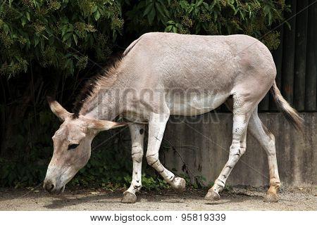 Somali wild ass (Equus africanus somaliensis). Wildlife animal.  poster