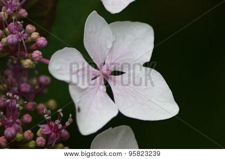 Hydrangea Single Flower