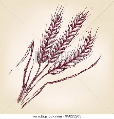 Ears of wheat hand drawn vector llustration sketch