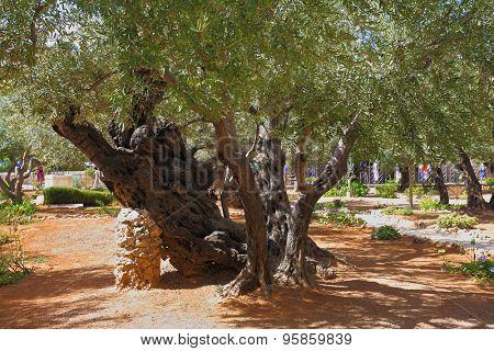 Footpath between old olives in the Garden of Gethsemane. Place of prayer of Jesus before arrest