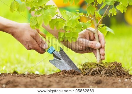 Hands Planting Small Tree With Roots In A Garden