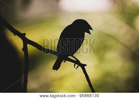 Silhouette Of Java Sparrow On  Branch
