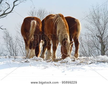 Clydesdales in Snow