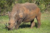 white rhino in the african bush feeding on lush green grass poster