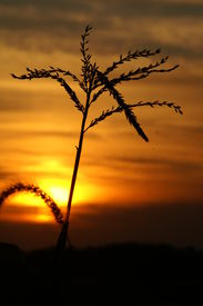 Sunset With Wheat