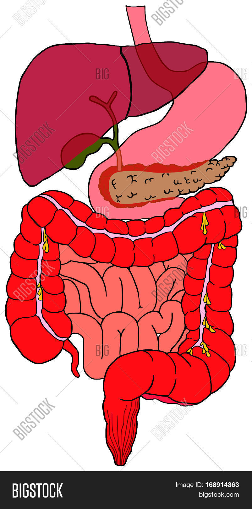 Human digestive system image photo free trial bigstock human digestive system tract vector diagram with all parts stomach bladder liver pancreas large small intestine ccuart Images