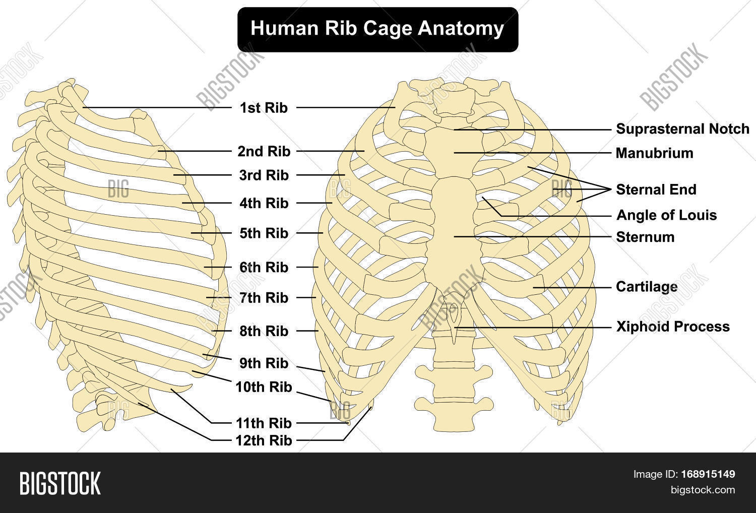 Human Body Rib Cage Image Photo Free Trial Bigstock