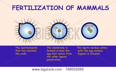 Fertilization of mammals scheme vector info graphic.