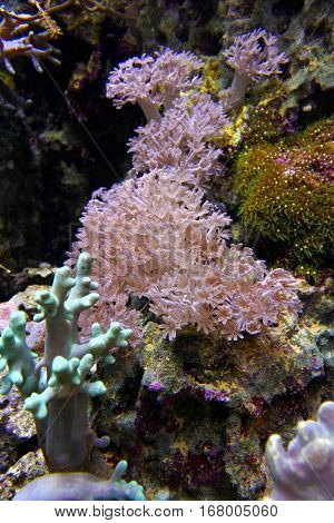 Xenia coral. Waving hand corals, pulse corals, pulsing xenia.