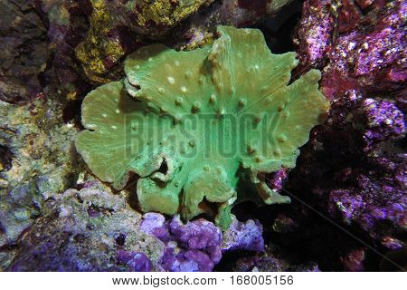 Sinularia dura ultra green. Soft coral  among the rocks.