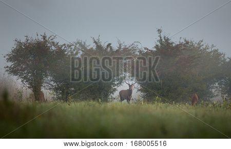 Red Deer On Foggy Morning