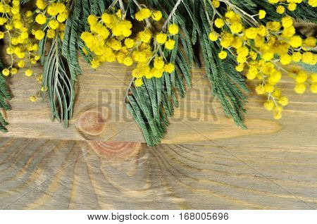 Mimosa flowers closeup. Mimosa flowers on the dark wooden background -focus at the mimosa flowers