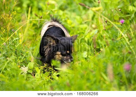 Small chihuahua actively using its nose while tracking scent in the forest.