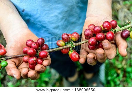 Young boy holds branch of ripening coffee beans near Antigua, Guatemala, Central America