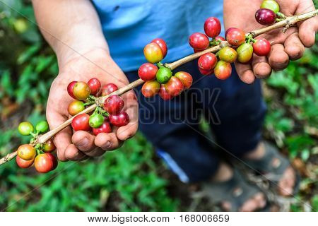 Young boy holds branch of ripening coffee beans Antigua, Guatemala, Central America